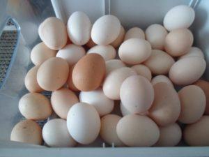 Бизнес на куриных яйцах в домашних